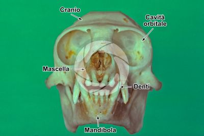Leontopithecus rosalia. Scimmia leonina. Cranio. Vista frontale