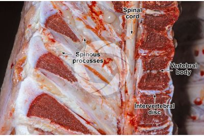 Cow. Spongy osseous tissue. Longitudinal section