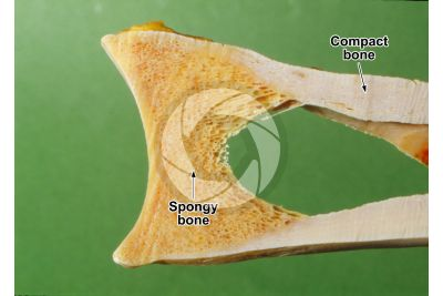 Mammal. Spongy osseous tissue. Femur. Longitudinal section