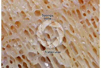 Mammal. Spongy osseous tissue. Femur. Longitudinal section. 15X