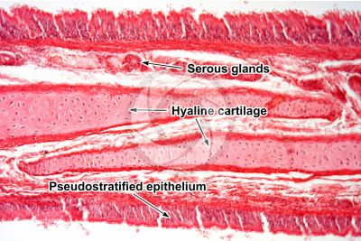 Rabbit. Trachea. Transverse section. 250X