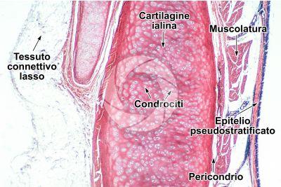 Mammifero. Trachea. Sezione trasversale. 64X