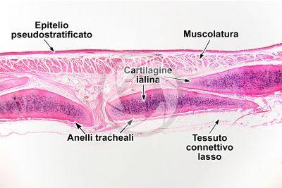 Mammifero. Trachea. Sezione trasversale. 32X