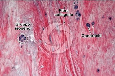 Mammifero. Cartilagine fibrosa. Sezione trasversale. 125X