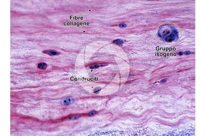 Mammifero. Cartilagine fibrosa. Sezione trasversale. 250X
