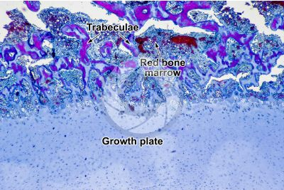 Mammal. Growth plate. Longitudinal section. 64X