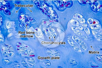 Mammal. Growth plate. Longitudinal section. 500X