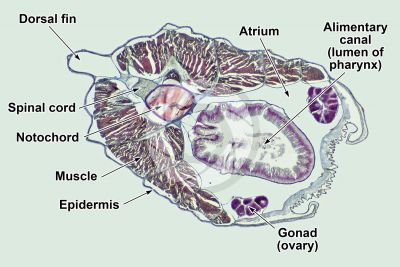 Branchiostoma sp. Lancet. Transverse section. 32X