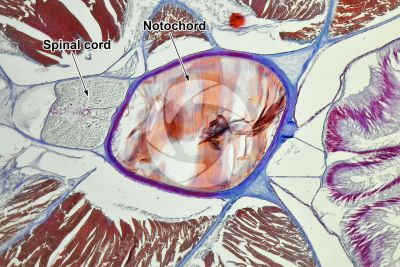 Branchiostoma sp. Lancet. Spinal cord and notochord. Transverse section. 100X