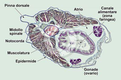 Branchiostoma sp. Anfiosso. Sezione trasversale. 32X