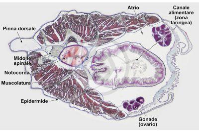 Branchiostoma sp. Anfiosso. Midollo spinale e notocorda. Sezione trasversale. 32X