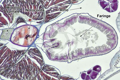 Branchiostoma sp. Anfiosso. Faringe. Sezione trasversale. 64X