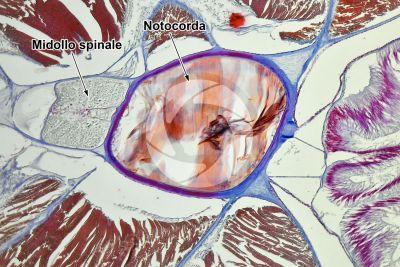 Branchiostoma sp. Anfiosso. Midollo spinale e notocorda. Sezione trasversale. 100X