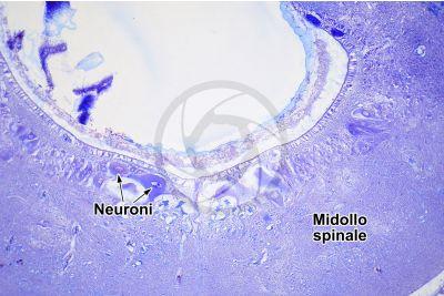 Petromyzon sp. Lampreda. Midollo spinale. Sezione trasversale. 125X