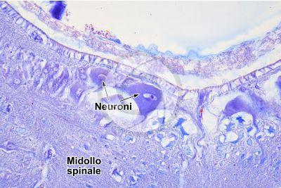 Petromyzon sp. Lampreda. Midollo spinale. Sezione trasversale. 250X