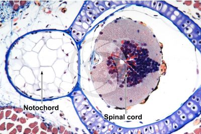 Salamandra salamandra. Salamander. Larva. Spinal cord and notochord. Transverse section. 125X