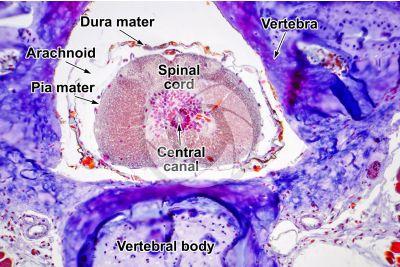 Salamandra salamandra. Salamander. Spinal cord. Transverse section. 125X