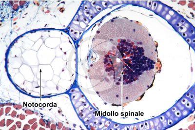 Salamandra salamandra. Salamandra. Larva. Midollo spinale e notocorda. Sezione trasversale. 125X