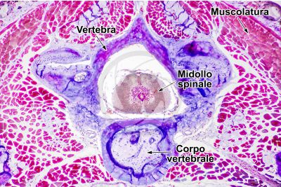 Salamandra salamandra. Salamandra. Midollo spinale e corpo vertebrale. Sezione trasversale. 64X