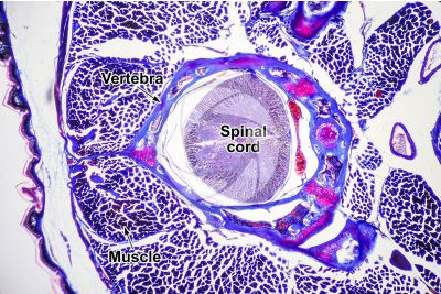 Lacerta sp. Lizard. Spinal cord. Transverse section. 64X