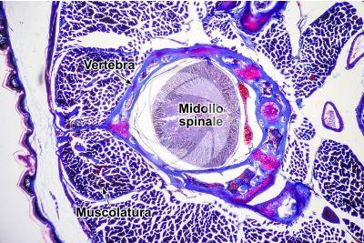 Lacerta sp. Lucertola. Midollo spinale. Sezione trasversale. 64X