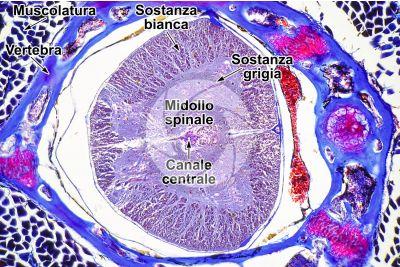 Lacerta sp. Lucertola. Midollo spinale. Sezione trasversale. 125X