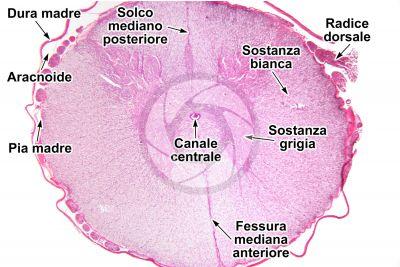 Cane. Midollo spinale. Sezione trasversale. 7X