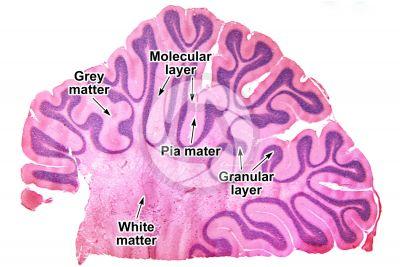 Cat. Cerebellum. Sagittal section. 10X