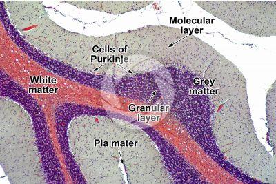 Cat. Cerebellum. Sagittal section. 64X
