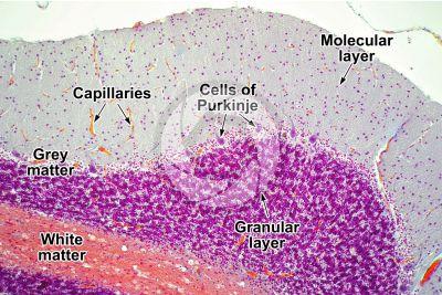 Cat. Cerebellum. Sagittal section. 125X
