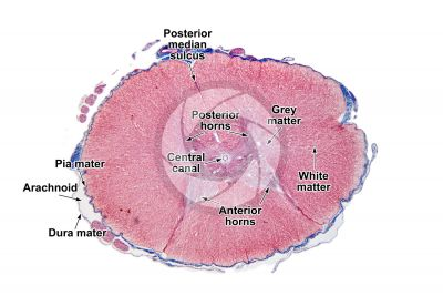 Cat. Spinal cord. Transverse section. 7X