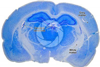 Rat. Encephalon. Transverse section. 7X