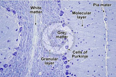 Rat. Cerebellum. Transverse section. 125X