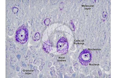Rat. Cerebellum. Transverse section. 500X