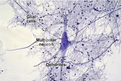 Mammal. Spinal cord. Neuron. 250X