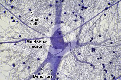 Mammal. Spinal cord. Neuron. 500X