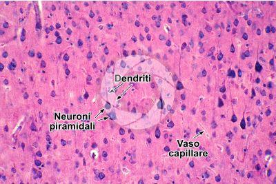 Mammifero. Corteccia cerebrale. Neurone. 250X