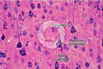 Mammifero. Corteccia cerebrale. Neurone. 500X