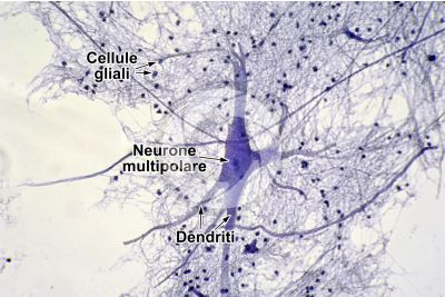Mammifero. Midollo spinale. Neurone. 250X