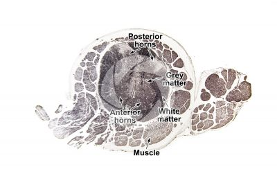 Mammal. Spinal cord. Transverse section. 32X