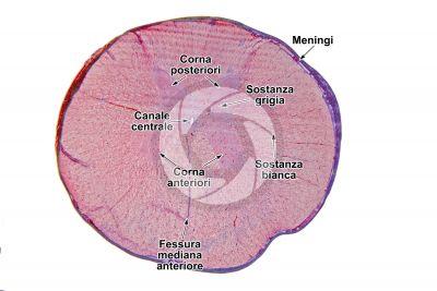 Mammifero. Midollo spinale. Sezione trasversale. 7X