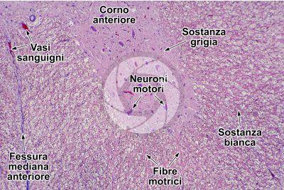 Mammifero. Midollo spinale. Sezione trasversale. 64X