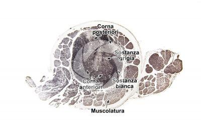 Mammifero. Midollo spinale. Sezione trasversale. 32X
