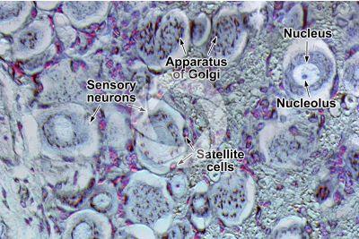 Mammal. Spinal ganglion. Neuron. 500X
