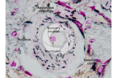 Mammal. Spinal ganglion. Neuron. 1000X