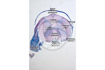 Mammifero. Midollo spinale e ganglio spinale. Sezione trasversale. 5X