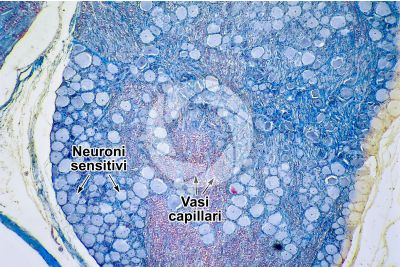 Mammifero. Ganglio spinale. Sezione trasversale. 64X