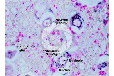 Mammifero. Ganglio spinale. Neurone. 250X