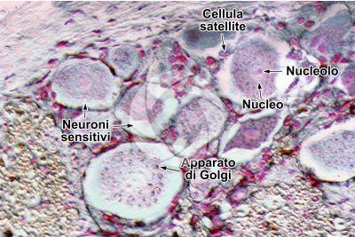 Mammifero. Ganglio spinale. Neurone. 500X