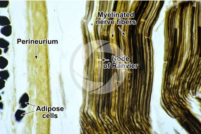 Mammal. Nerve. Osmium tetroxide stain. Longitudinal section. 250X